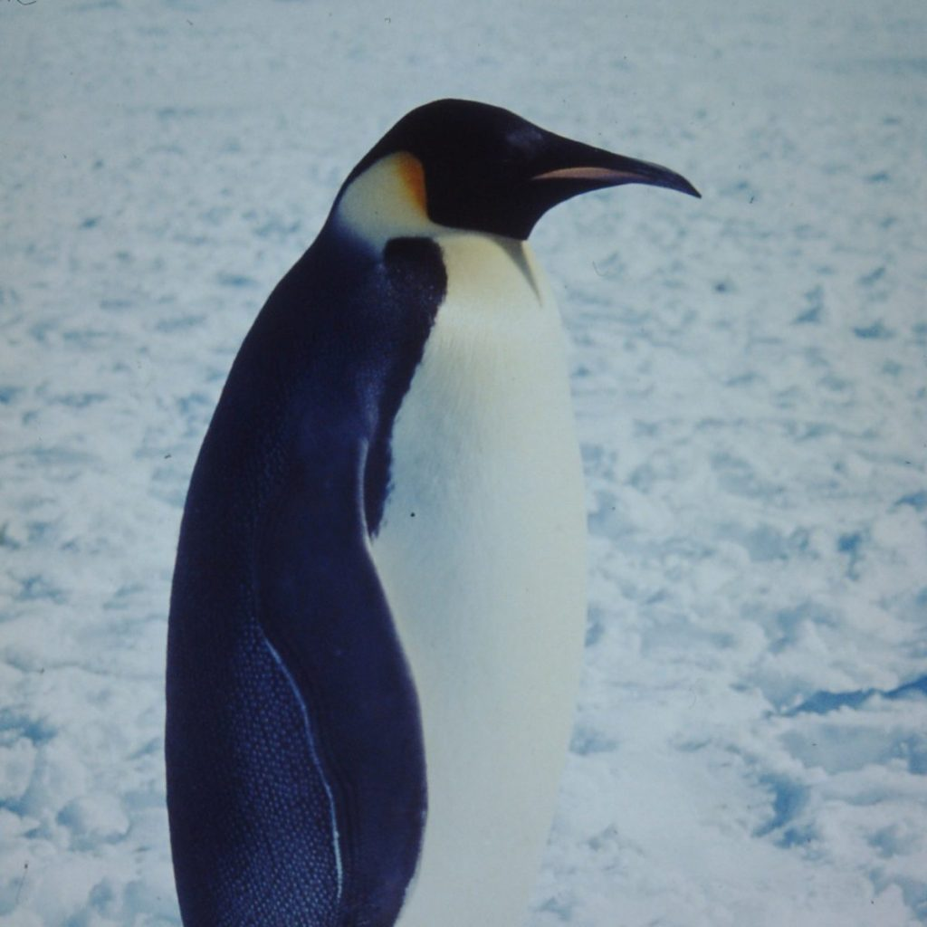 Photograph of an emperor penguin
