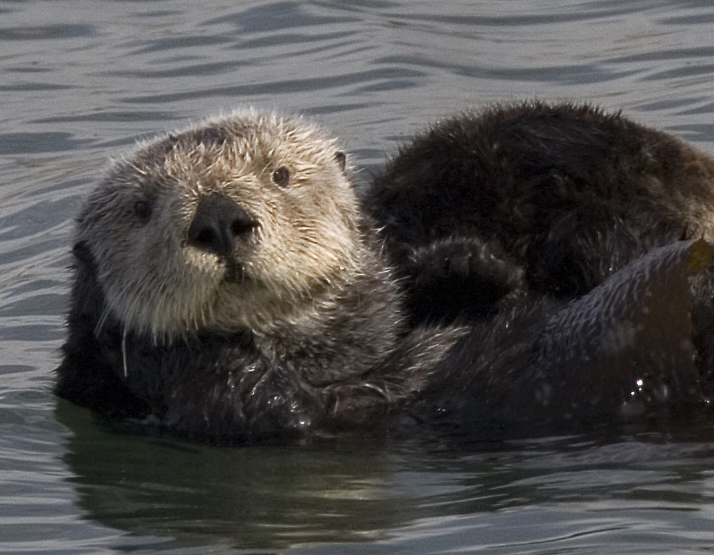 Photograph of a sea otter