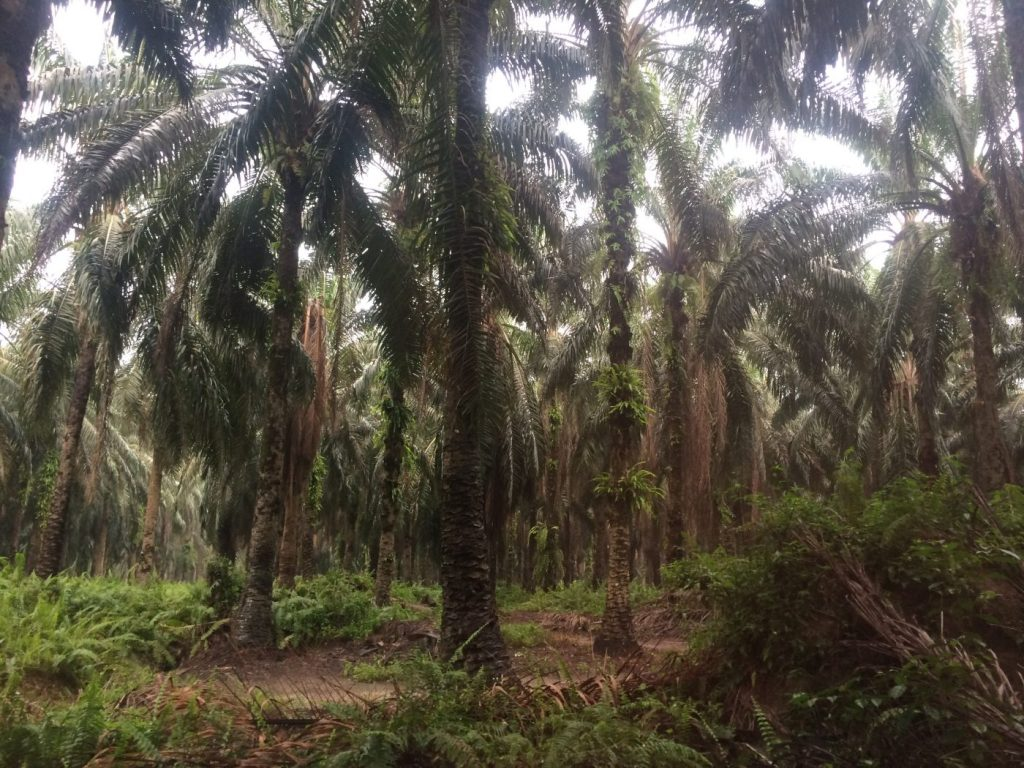 Oil Palm plantation, Sumatra.