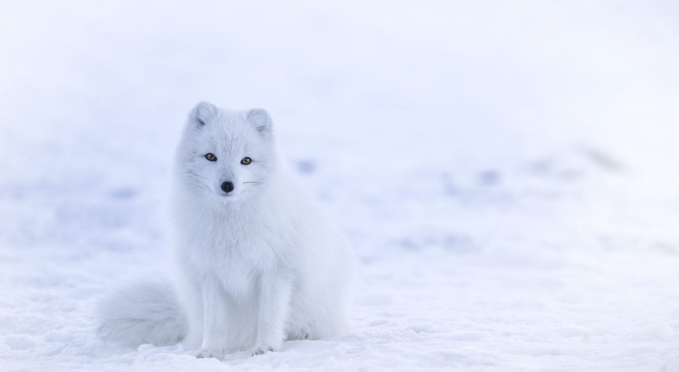 Photograph of a white Arctic Fox in the snow