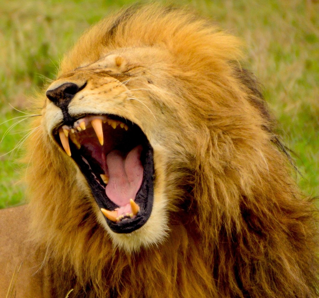 Photograph of a lion roaring