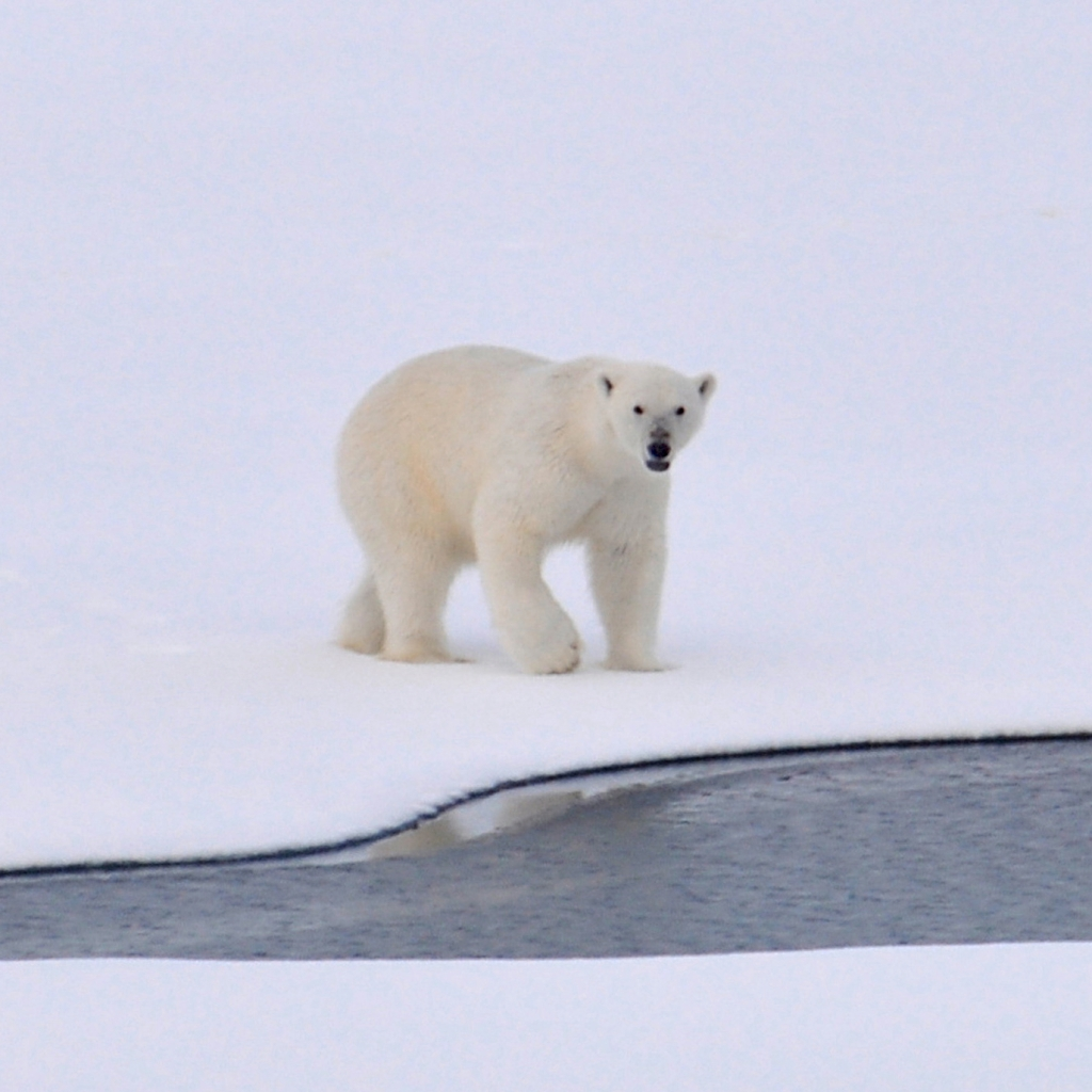 Photograph of a polar bear