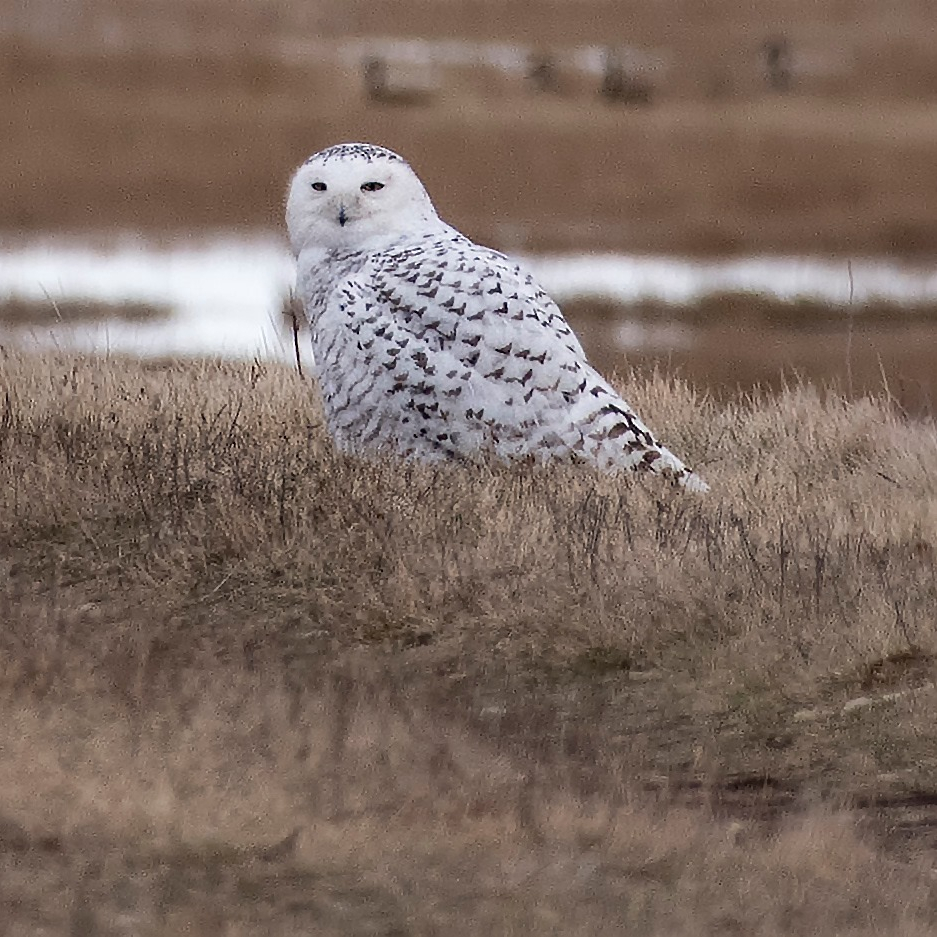 Photograph of a snowy owl on grassland