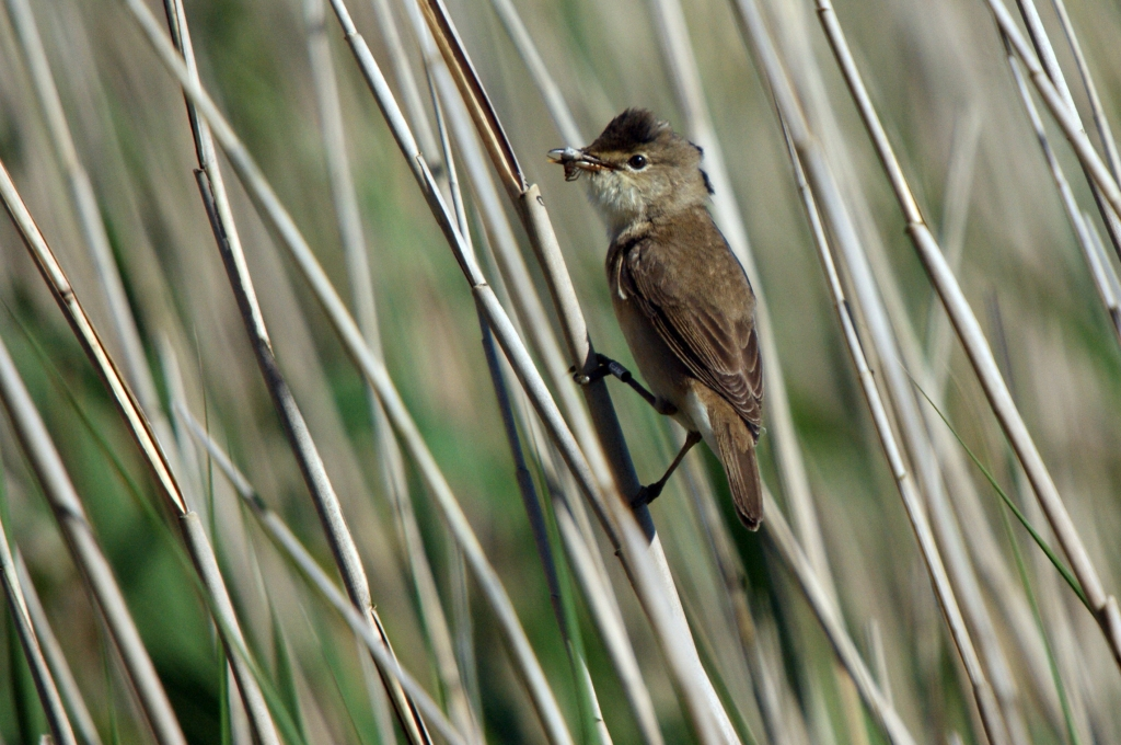 Photograph of a reed warbler