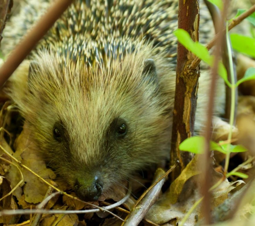Photograph of a hedgehog