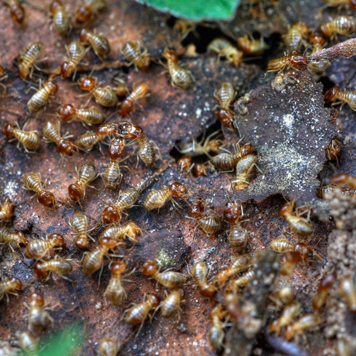 Photograph of termites