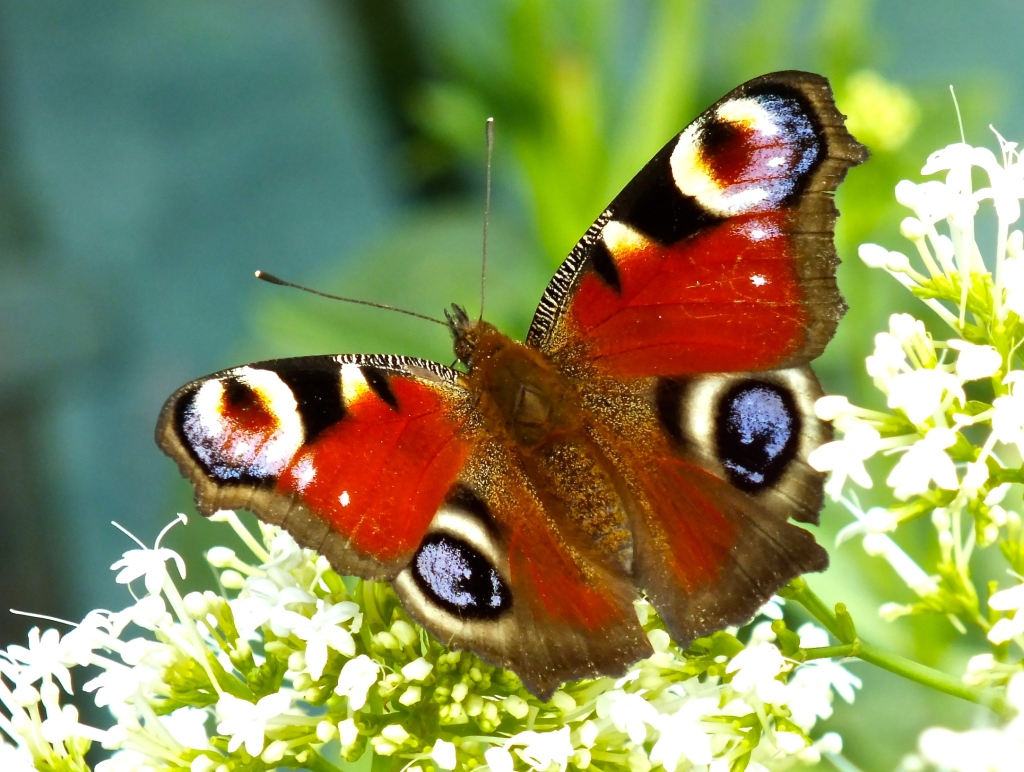 Photograph of a peacock butterfly