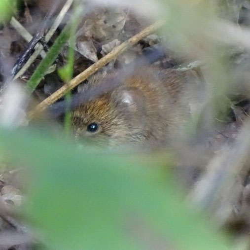 Bank vole. Credit Jack Ashby