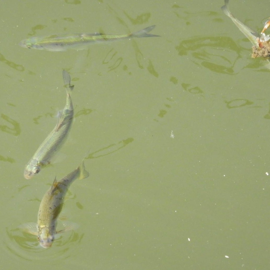 Fish in the Cam. Bethan Wallace