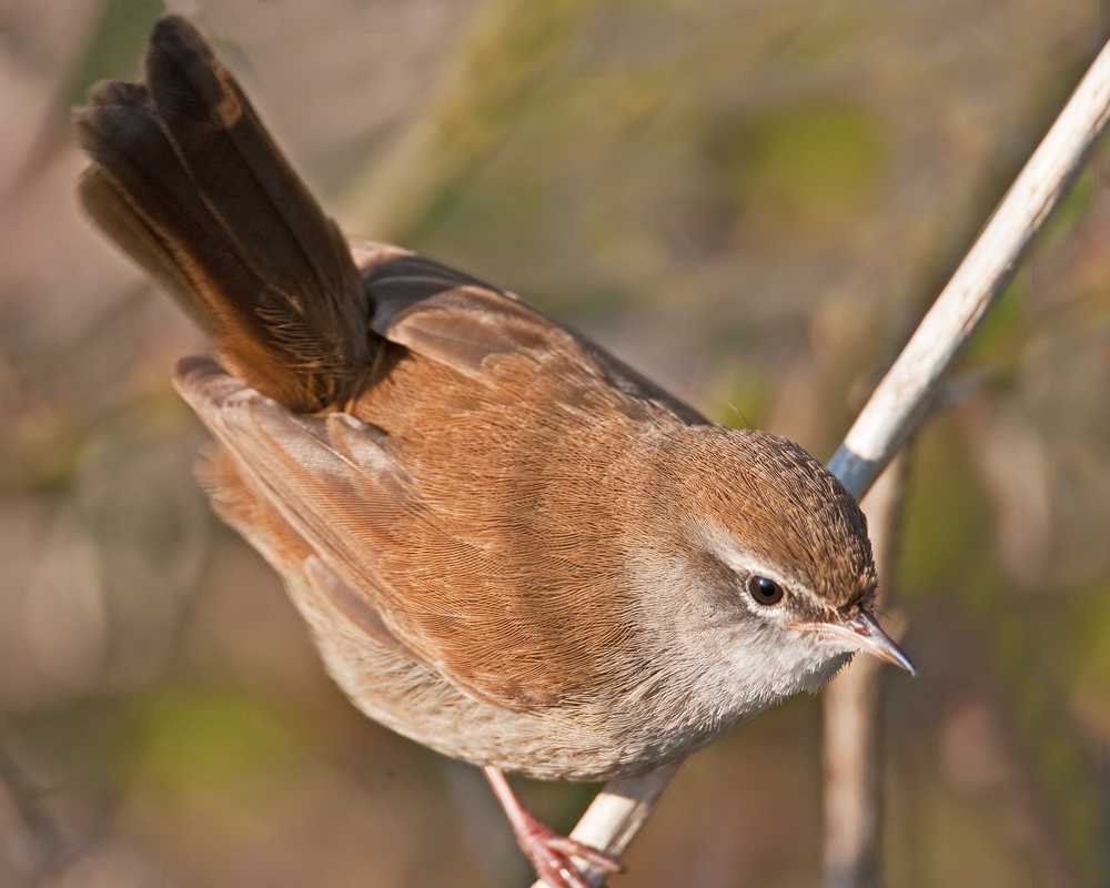 Photograph of a Cetti's Warbler