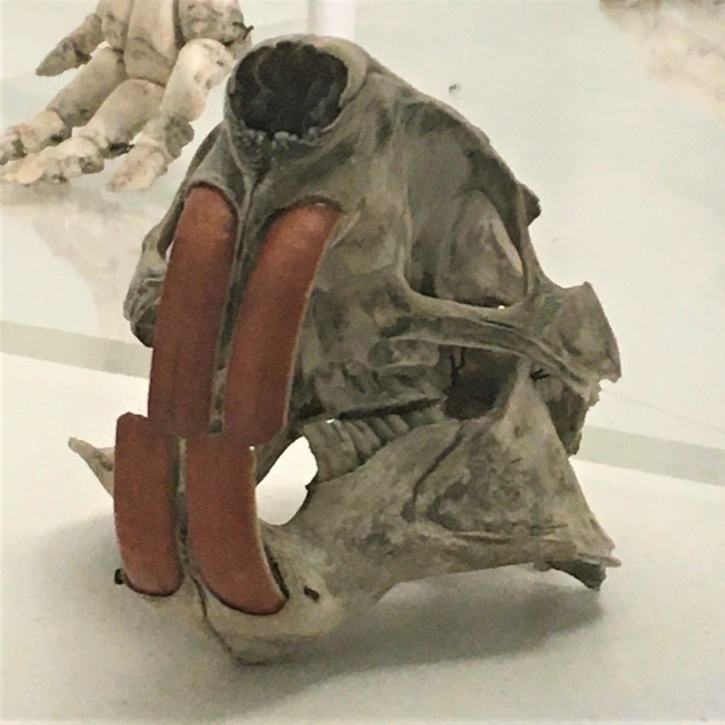 Photograph of a coypu skull