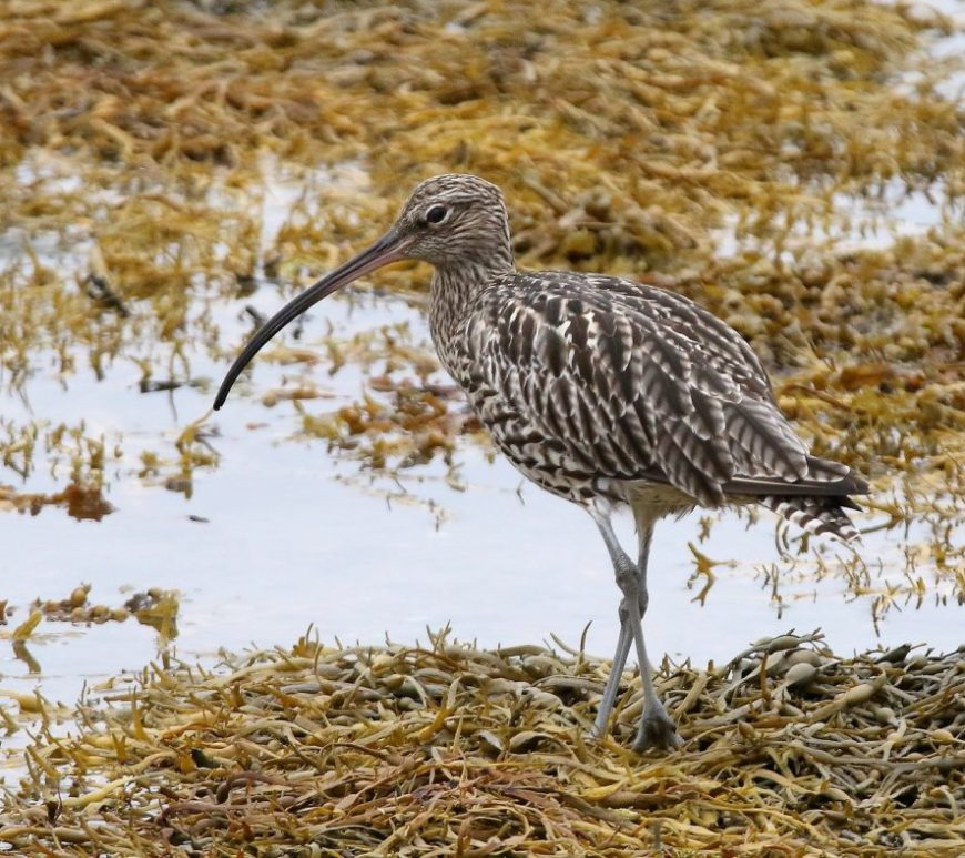 Curlew Copyright billywhiz07 on flickr