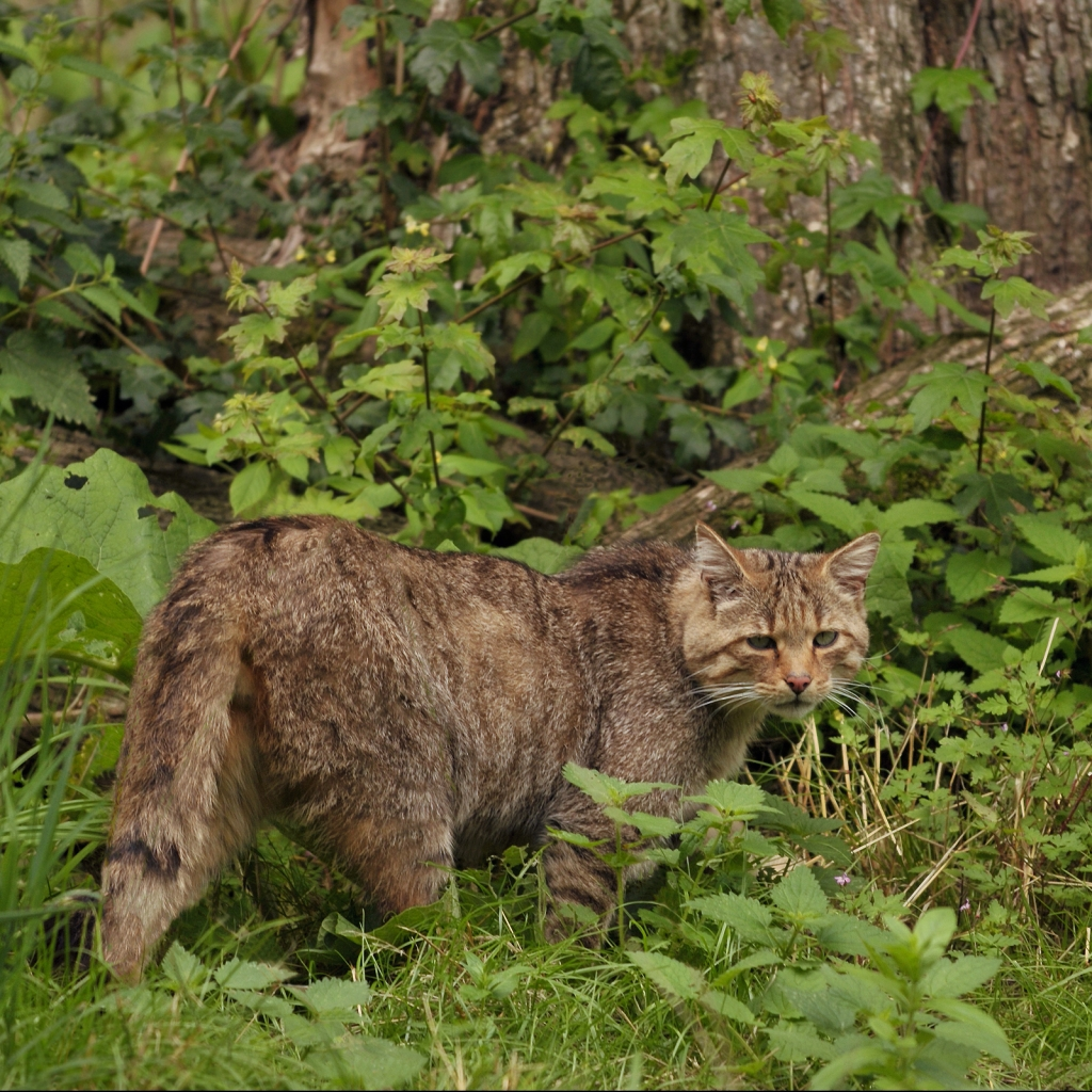 Photograph of a wild cat