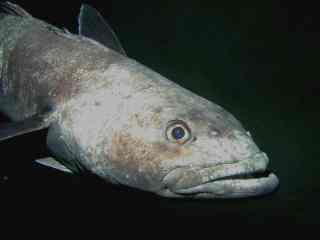 Photograph of an antarctic toothfish