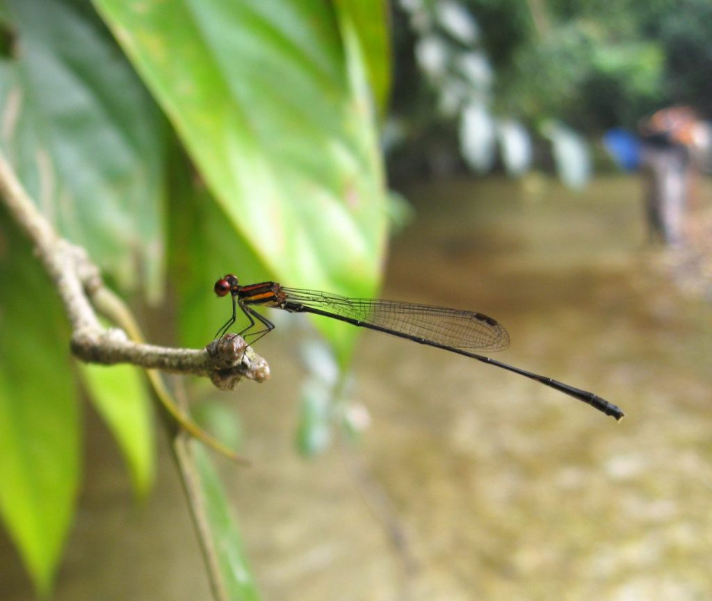 Odonata in plantation, Sumatra. Credit Ed Turner