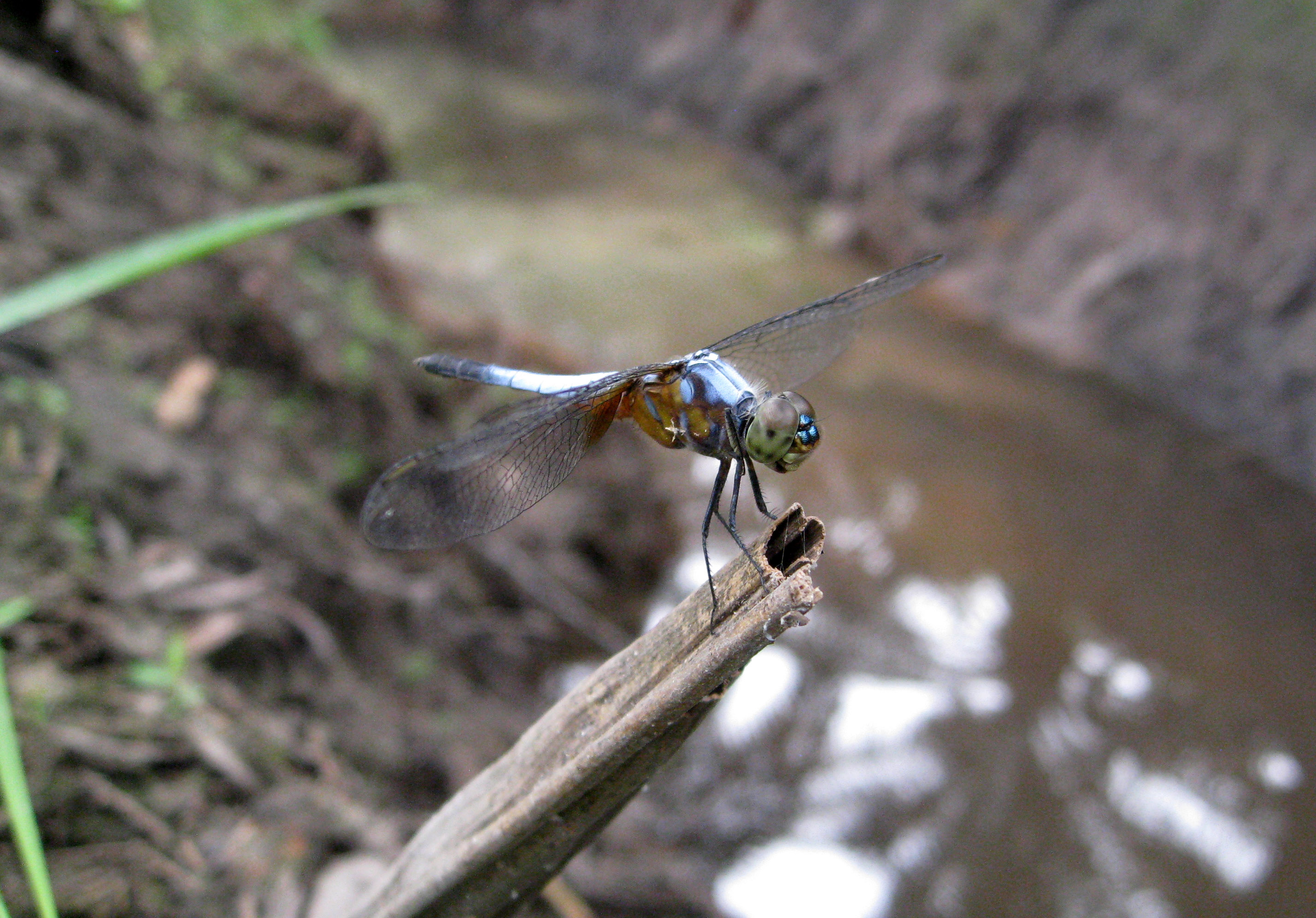 Odonata perched on branch in plantation, Sumatra.