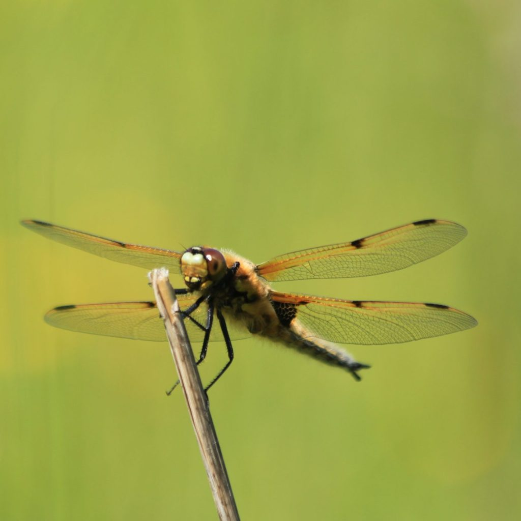 Four-spotted chaser. Andrew Bladon