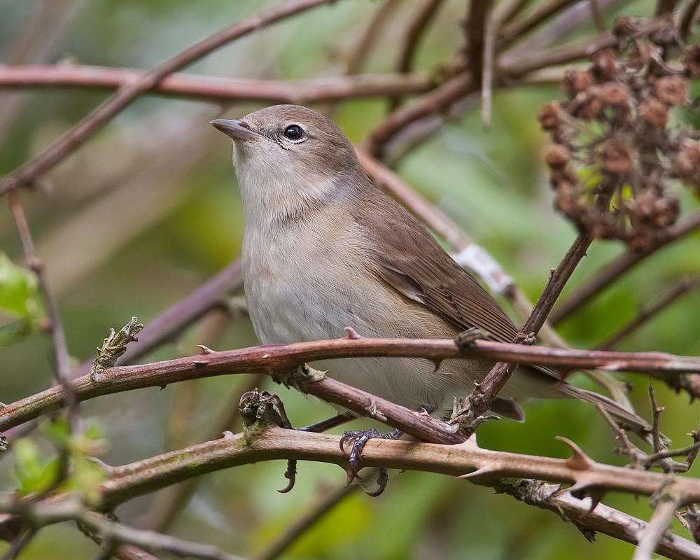 Photograph of a garden warbler