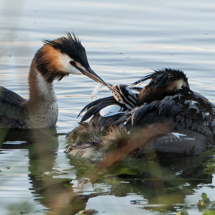 Great Crested grebe pair and chick. Geoff Oliver (museum volunteer)
