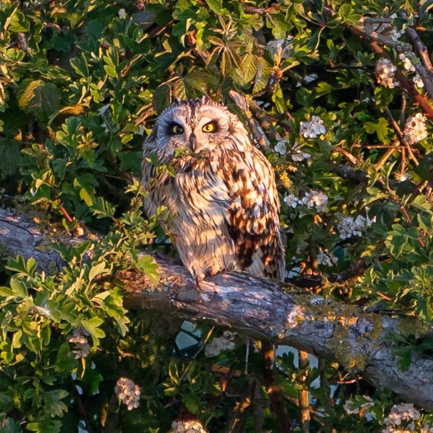 Short eared owl. Geoff Oliver (museum volunteer)