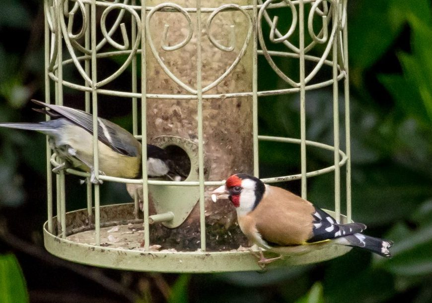 Goldfinch and great tit on feeder. Image credit John Howlett