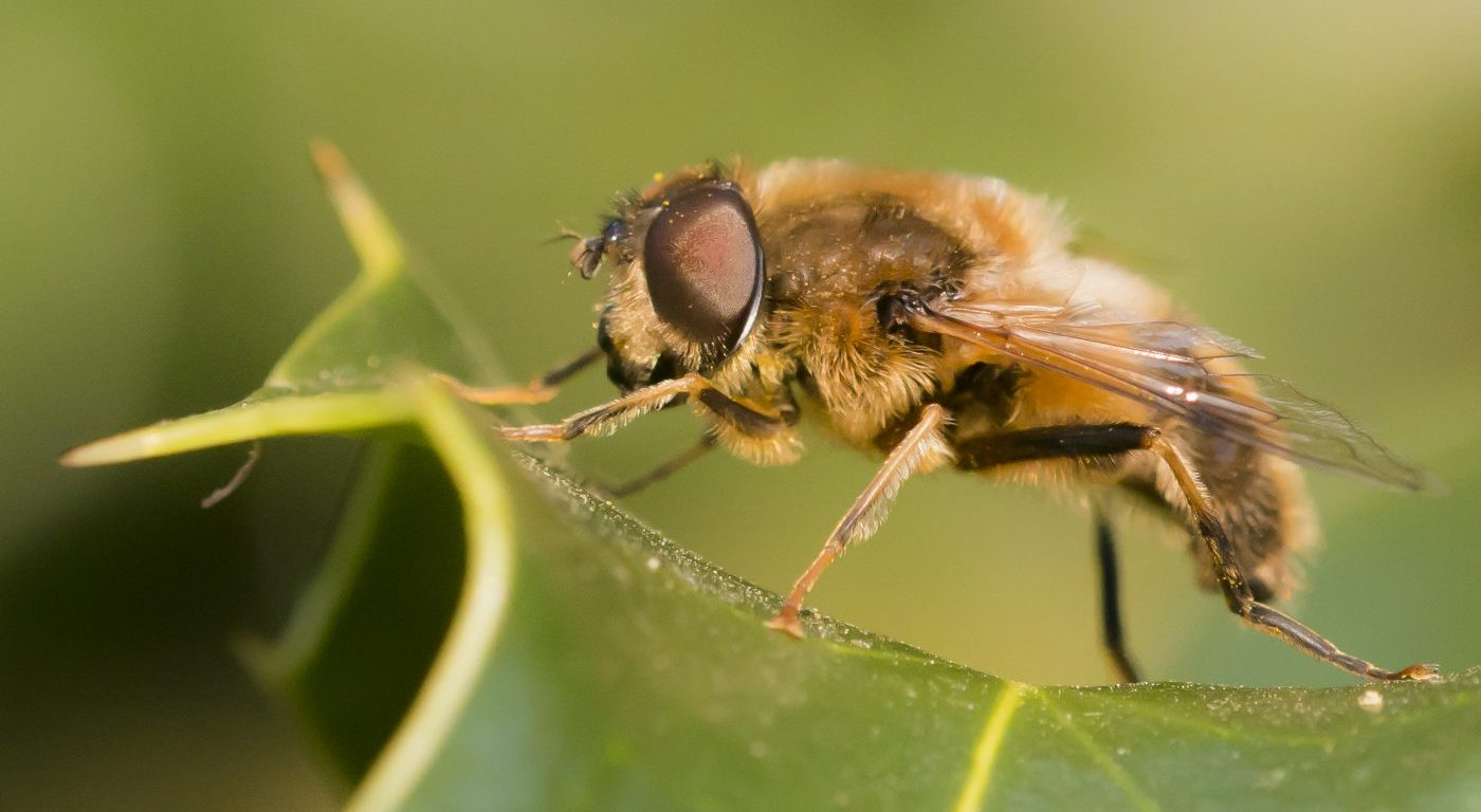 Photograph of a hoverfly