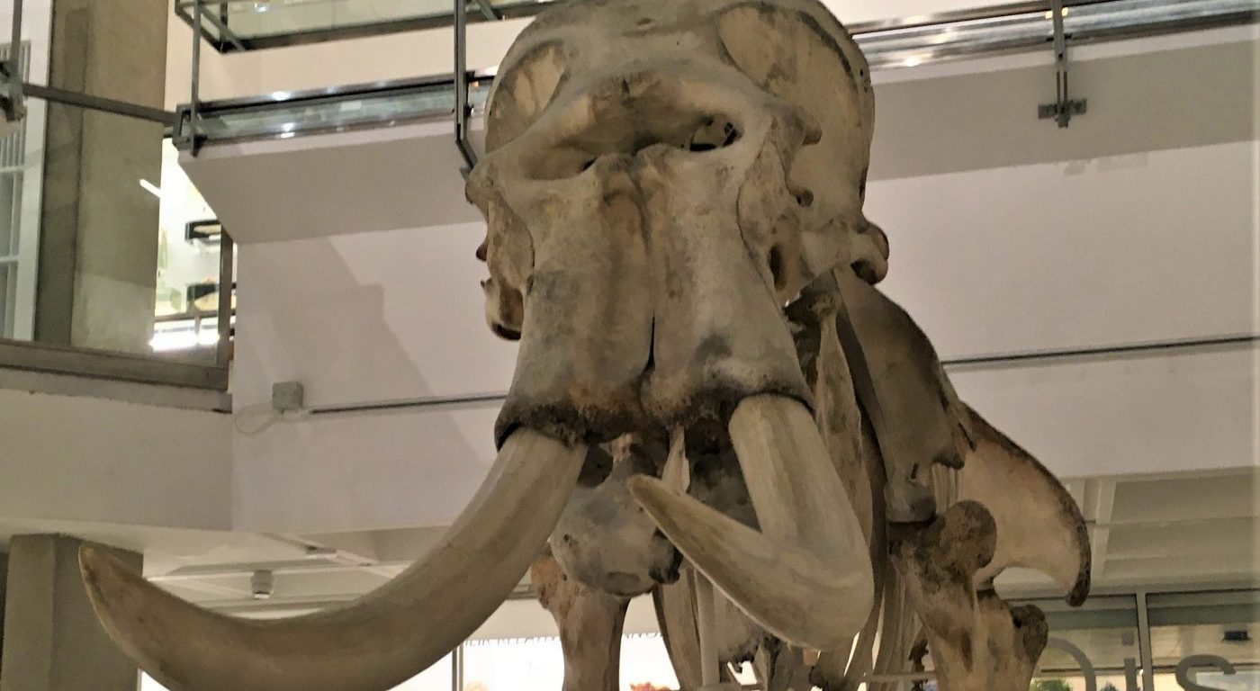 Photograph of an Asian elephant skull