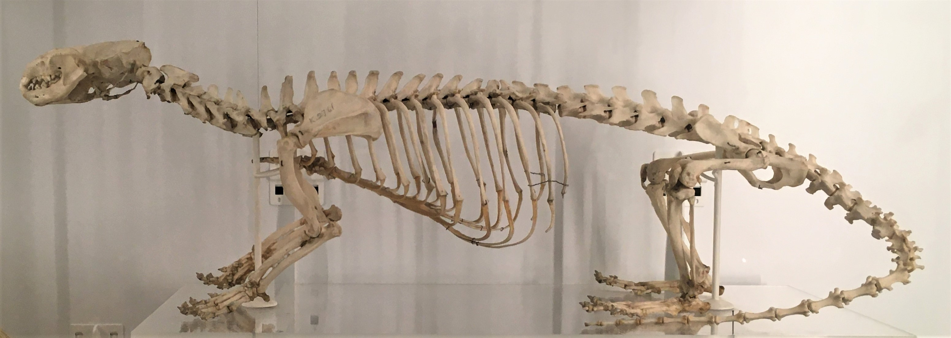 Photograph of an otter skeleton