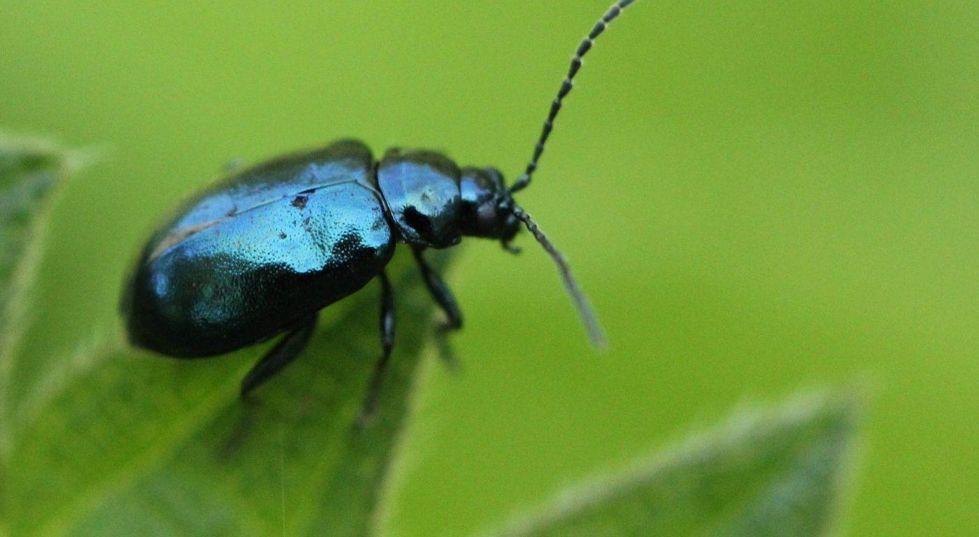 Photograph of a fela beetle