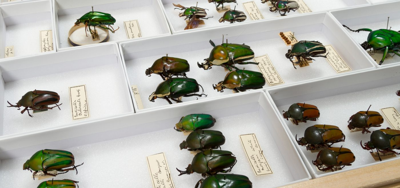 Beetle drawer. University Museum of Zoology collection. Credit University of Cambridge + Chris Green