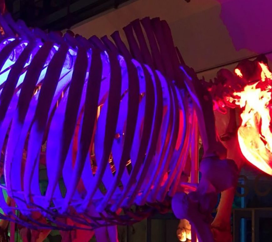 Museum of Zoology Rhino Specimen. Please note that the horn on the specimen is a replica. Credit S Steele.