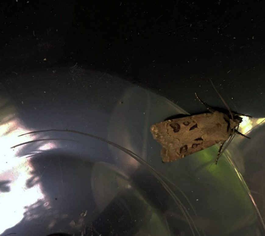 Heart and dart moth in trap