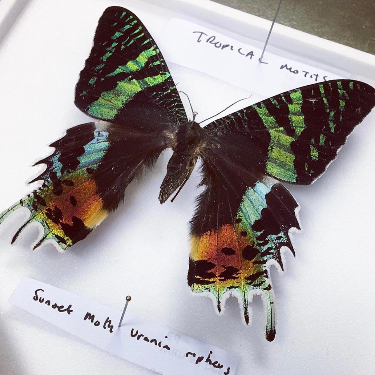Madagascan Sunset Moth. University Museum of Zoology collection. Copyright University of Cambridge