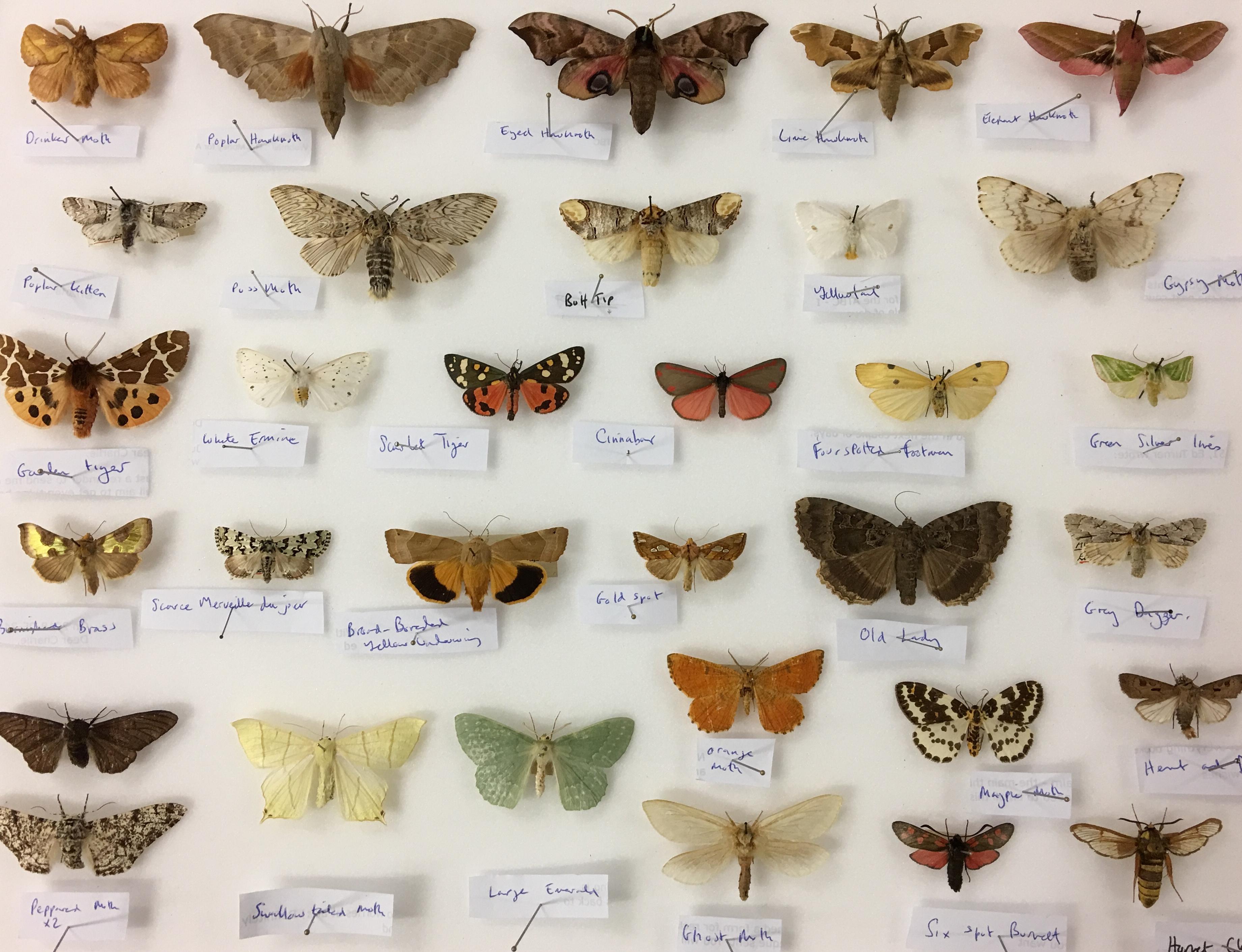 UK moths. University Museum of Zoology collection. Copyright University of Cambridge