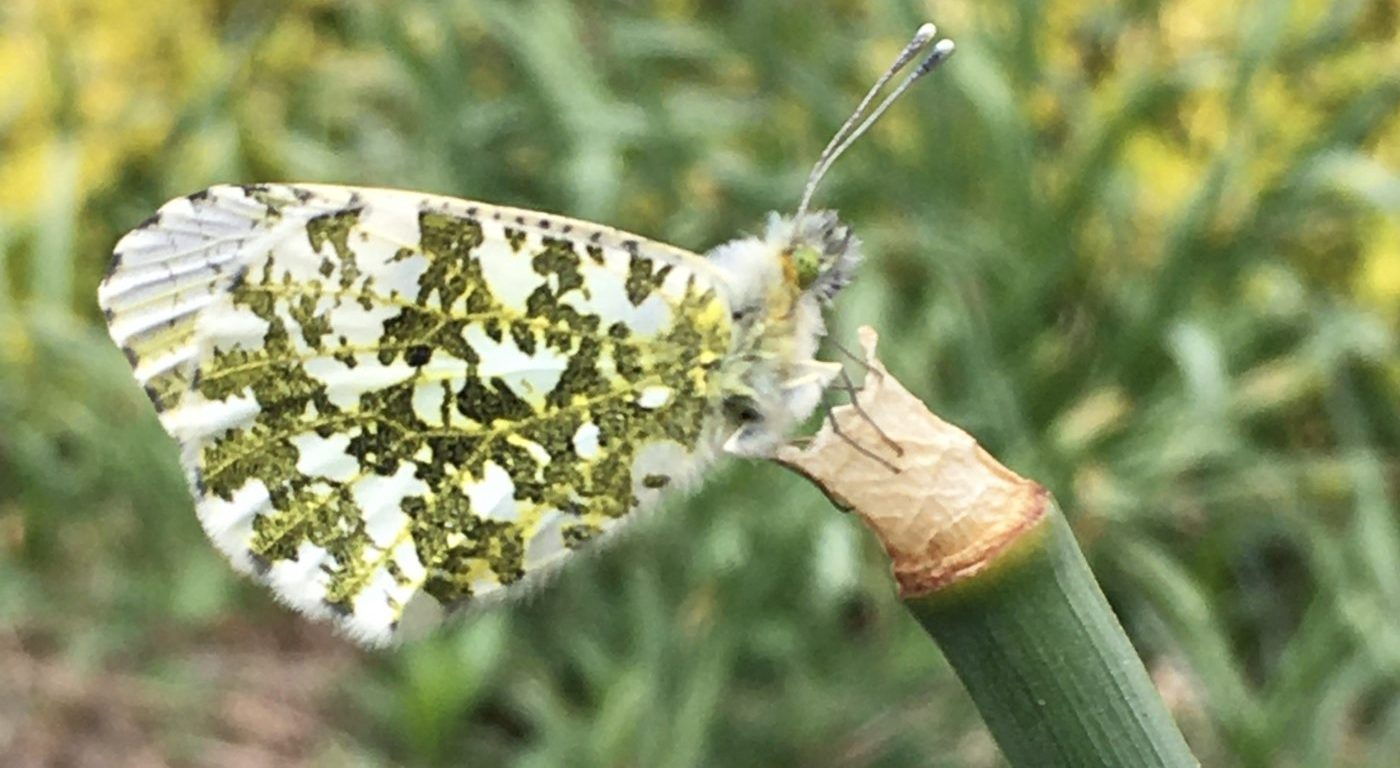 Photograph of a female orange tip butterfly