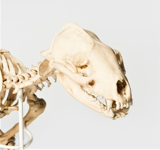 Photograph of a badger skull