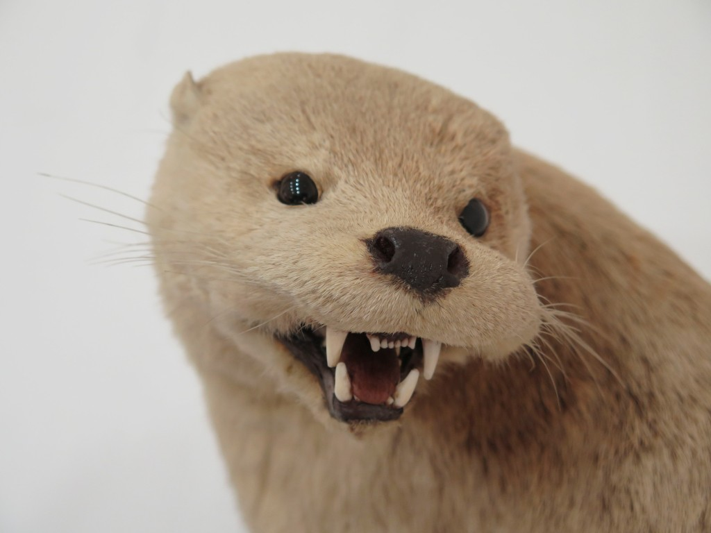 Close up of the head of a taxidermied otter