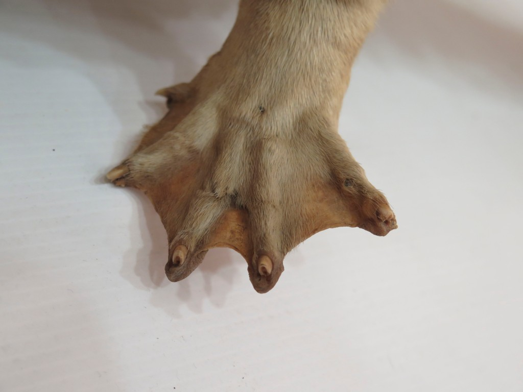 Close up of the foot of a taxidermied otter