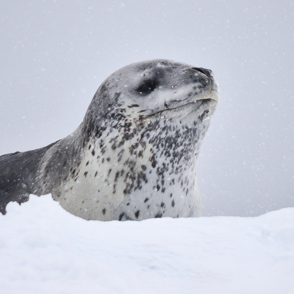 Photograph of a leopard seal