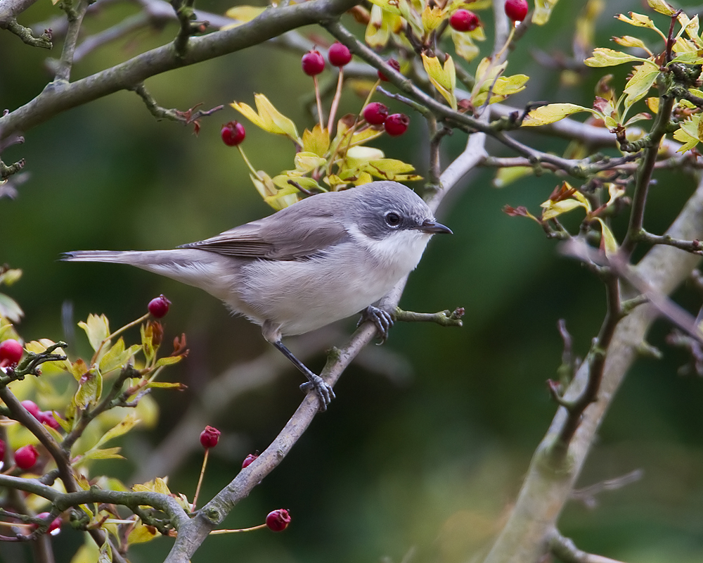 Photograph of a lesser whitethroat