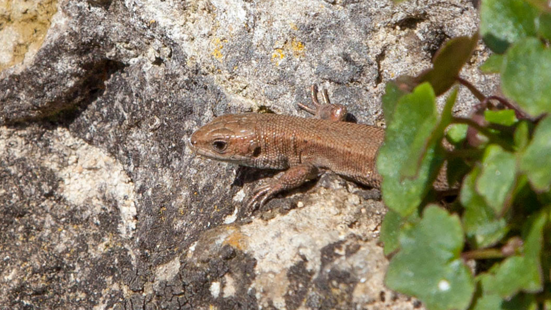 Common lizard. Image credit John Howlett