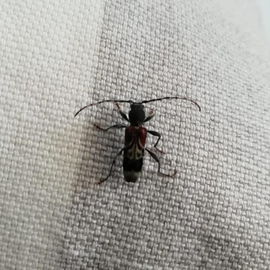 Rufous shouldered longhorn beetle. Richard Preece