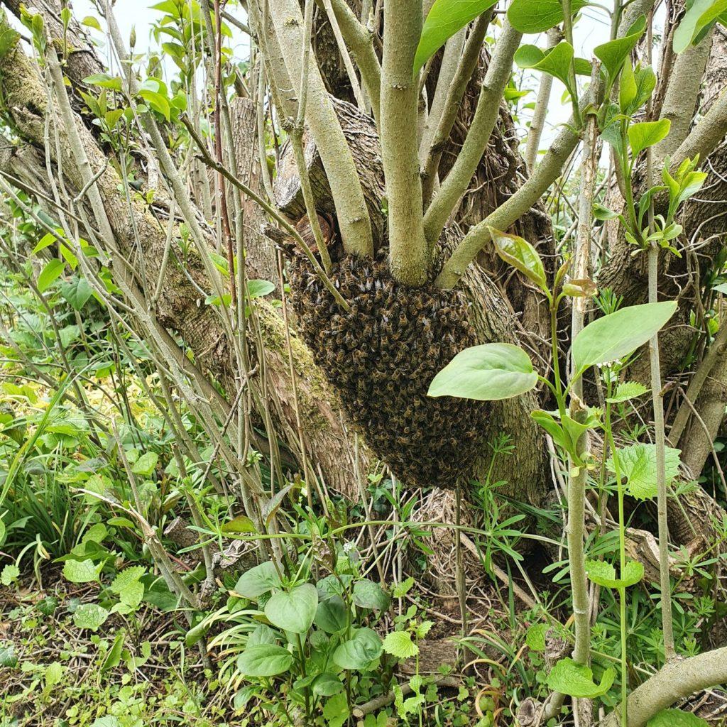 Honey bee swarm, Bury St. Edmunds. Arthur and Lucy