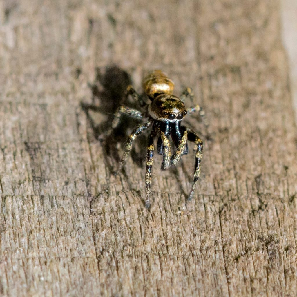 Jumping spider (Salticidae). Matt Lowe (collections manager)