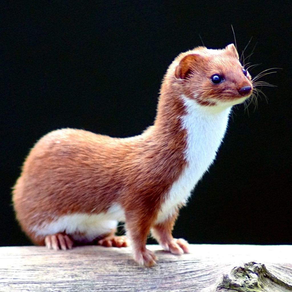 Photograph of a weasel