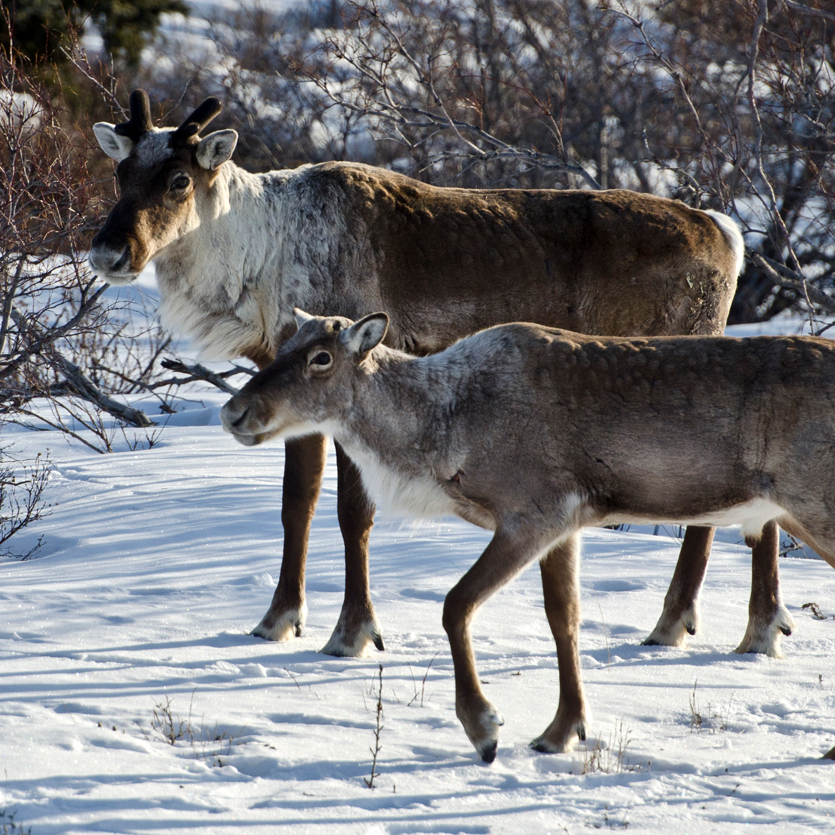 Photograph of caribou in the snow