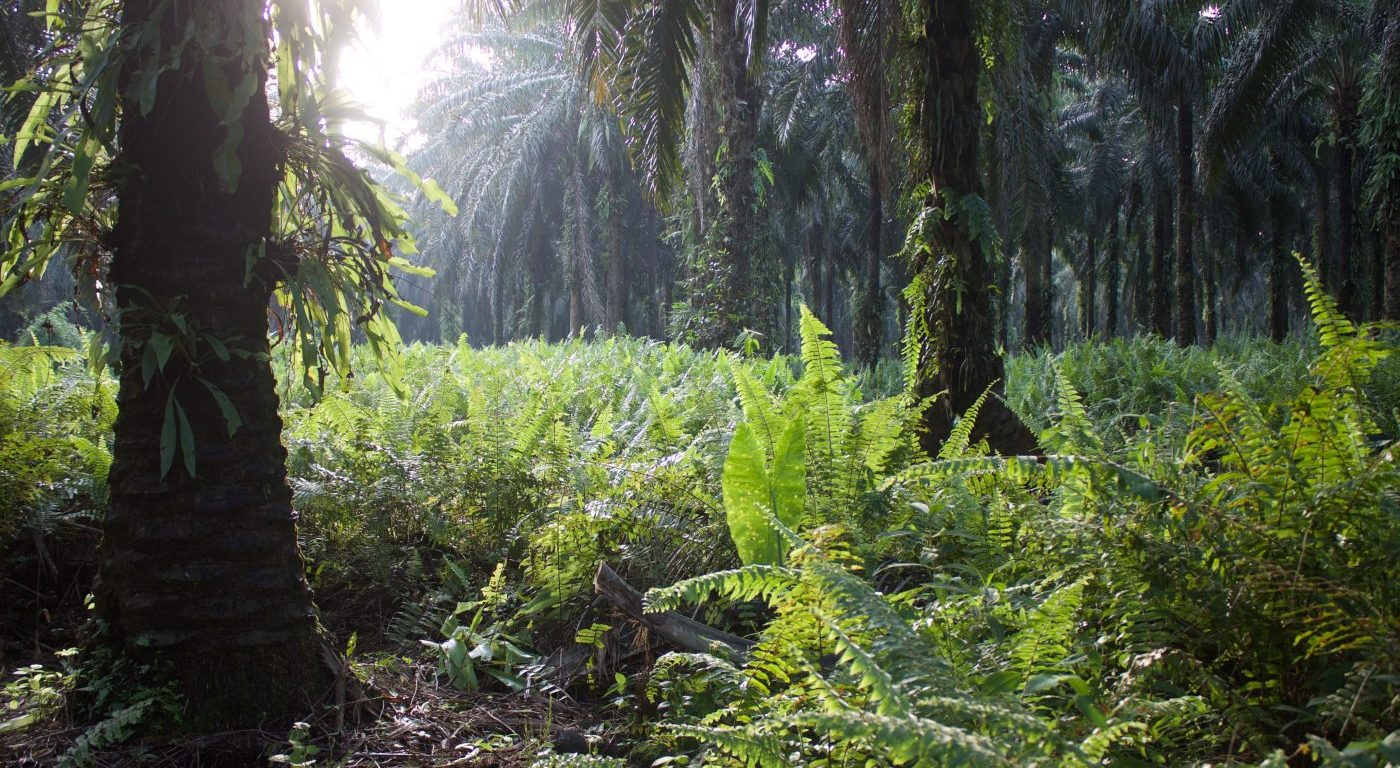 Oil Palm plantation. Credit Millie Hood