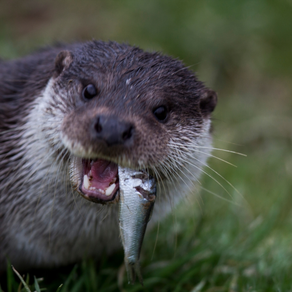 Photograph of an otter eating a fish