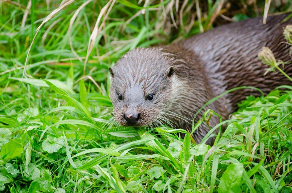 Photograph of a European otter