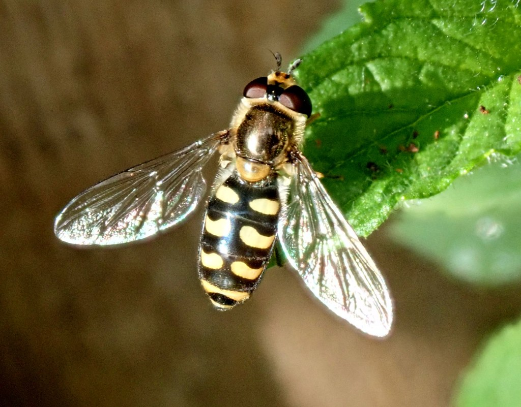 Photograph of a hoerfly